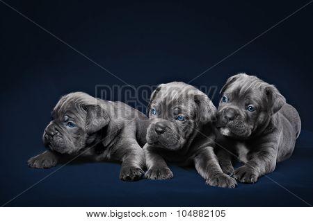 Cane Corso puppy