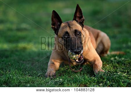 beautiful belgian shepherd malinois dog