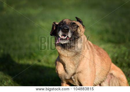 Funny Belgian Shepherd Dog