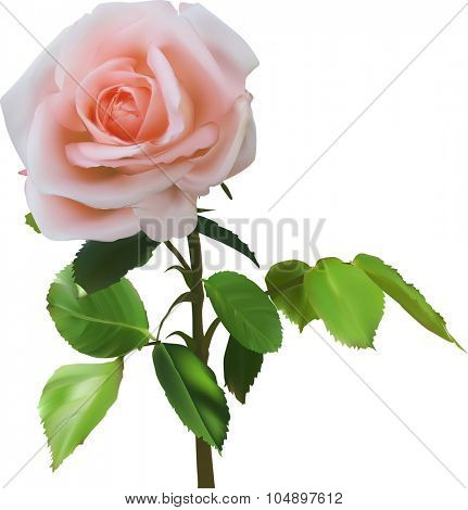 illustration with light red rose isolated on white background