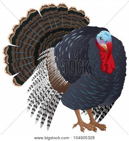 Black big Turkey bird male. Turkey for Thanksgiving
