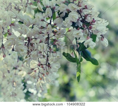 Branch Of Blooming White Acacia
