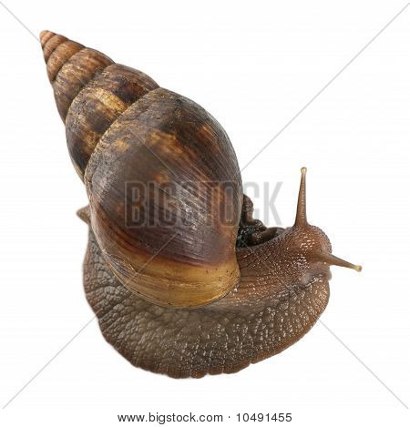 Giant African Land Snail, Achatina Fulica, 5 Months Old, In Front Of White Background