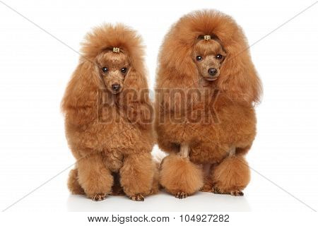 Two Red Toy Poodle On White Background