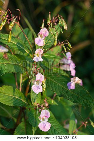 Pink Blooming Himalayan Balsam