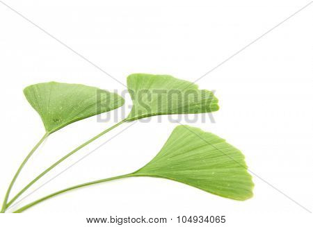 Ginkgo leaves. All on white background
