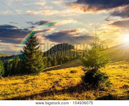 Conifer Forest  In Mountains At Sunset