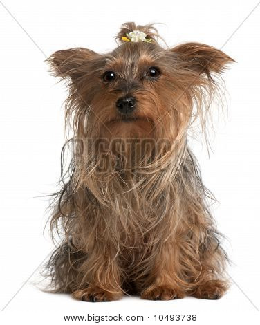 Yorkshire Terrier, 14 Years Old, Sitting In Front Of White Background