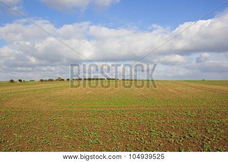 Young Canola Field