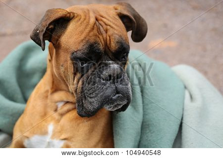 Cute Dog In Blanket