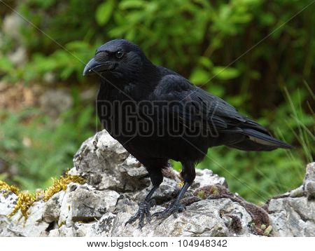 Carrion crow, corvus corone