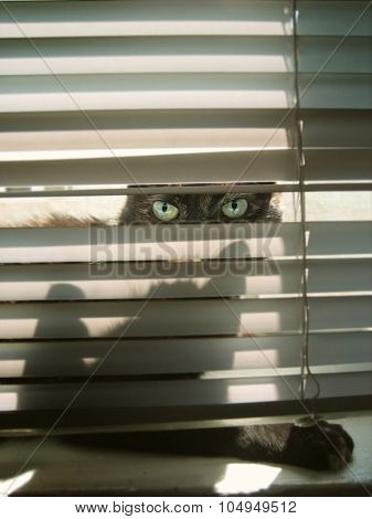 Cats eyes peering through a window blind