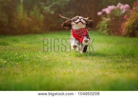 cavalier king charles spaniel dog playing and running with stick in summer garden