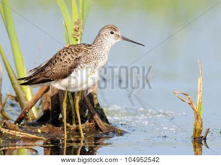 Marsh Sandpiper In Marsh