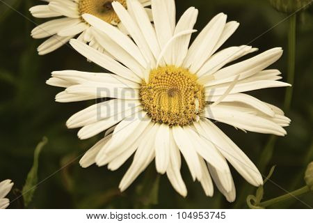 Blossoming white ox-eye-daisy in the garden.