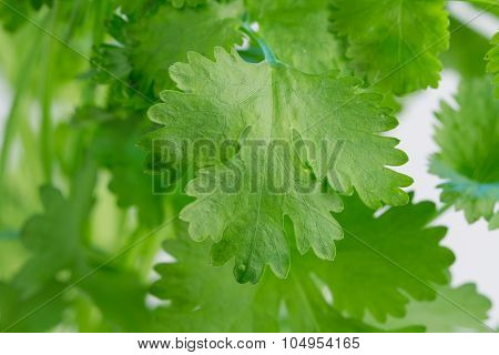Coriander, also known as cilantro, against a light background