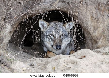 Wolf in a burrow