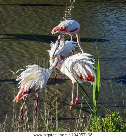 Love pink flamingos. Picturesque exotic birds tenderly embrace each other