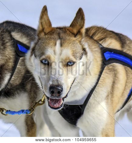 Husky sled dog at work