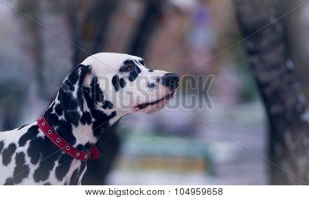 Portrait Of Black And White Dalmatian Dog