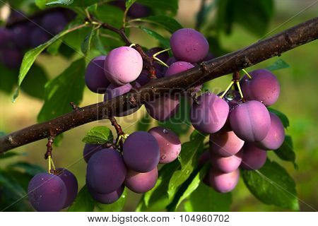 Plums On A Branch.