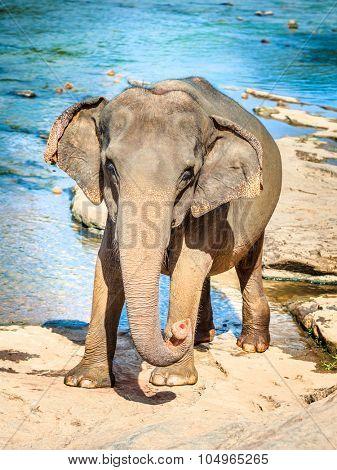 Elephant cub bathing in a river