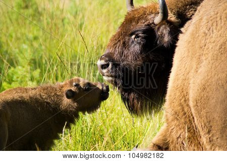 Mom bison with cub.