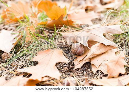 Acorn Is At The Fallen Leaves From The Trees