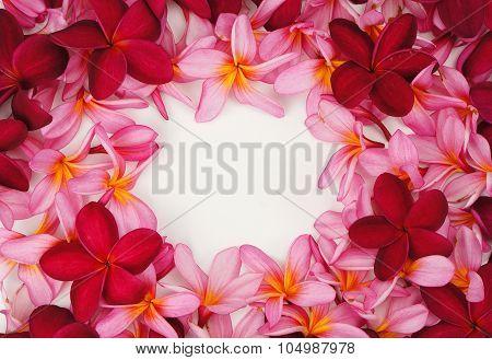 Beautiful Frangipani Flower Frame On White Background
