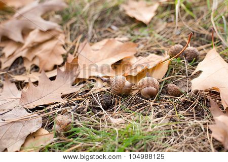 Acorns Is At The Fallen Leaves From The Trees