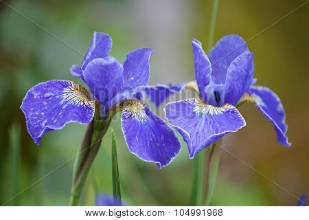 Two Blue Iris Flowers