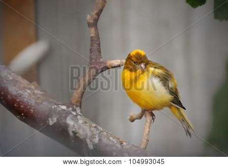 yellow - brown canary