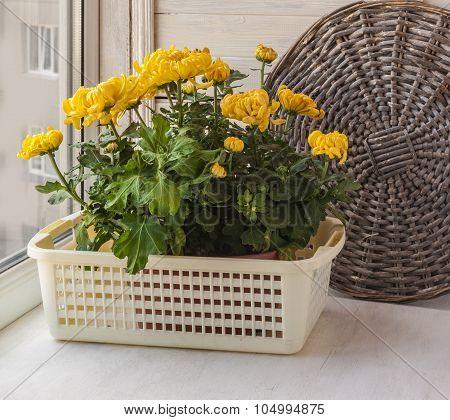 Yellow Chrysanthemums  On Window