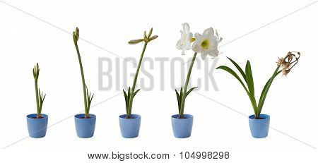 The Sequence Of The Flowering White Hippeastrum Isolated