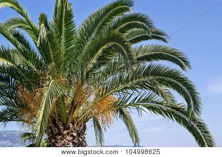 Palm Tree With Green Branches And Yellow Fruits
