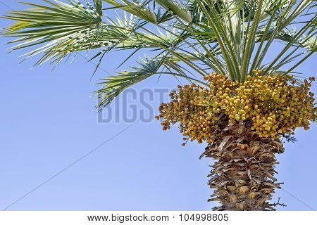 Palm Tree And There Are A Lot Of Yellow Fruits