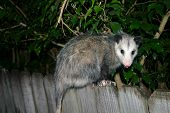 image of opossum  - an opossum in the wild in florida - JPG