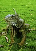pic of guayaquil  - A large green iguana posing for the camera in  - JPG