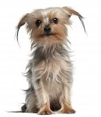 stock photo of yorkie  - Yorkshire Terrier 4 years old sitting in front of white background - JPG