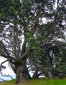 New Zealand Christmas Tree - Metrosideros Excelsa