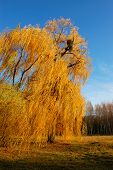 Willow Tree (salix) In A Park In Warm Colors Of Sunset, Olexandria Park, Bila Tserkva, Ukraine