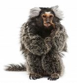 image of marmosets  - Common Marmoset Callithrix jacchus 2 years old eating worm in front of white background - JPG