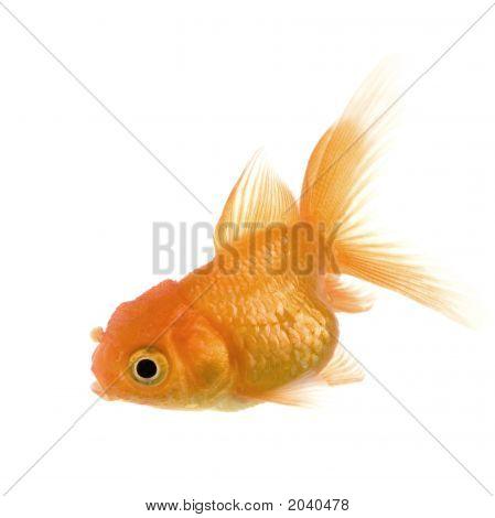 Goldfish,
