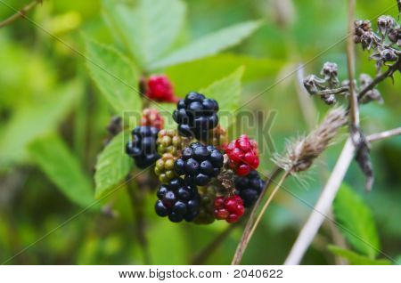 Wild Blackberry On The Bush