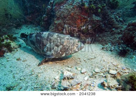 Grouper Resting