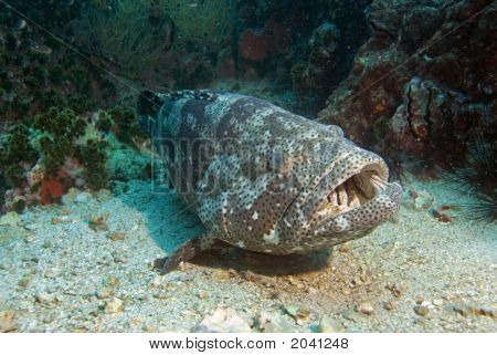 Potato Cod On Sea Floor