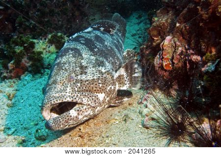 Potaoe Grouper