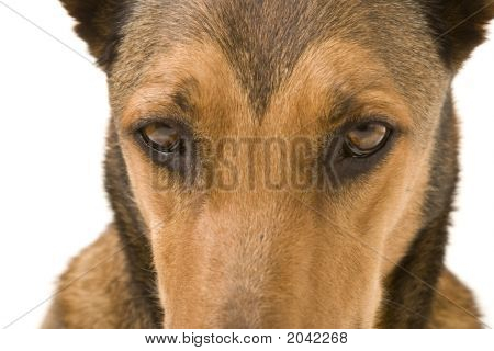 Belgian Malinois Eyes
