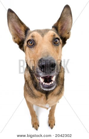 Belgian Malinois With Large Ears And Nose