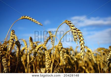 dry wheet spikes on the agriculture field